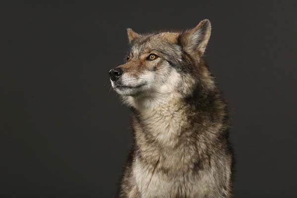 Wolf on black studio background